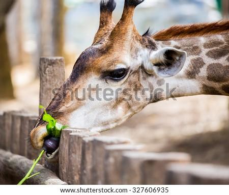 Giraffe in chiangmai zoo Thailand - stock photo