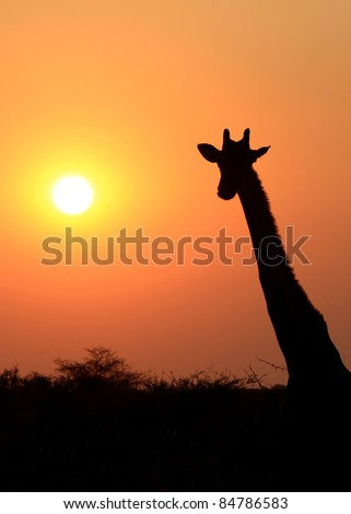 Giraffe in Etosha national reserve, Namibia - stock photo