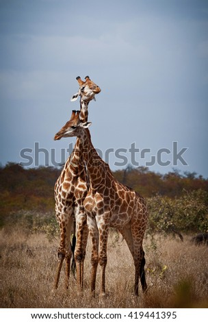 Giraffe in front Amboseli national park Kenya - stock photo