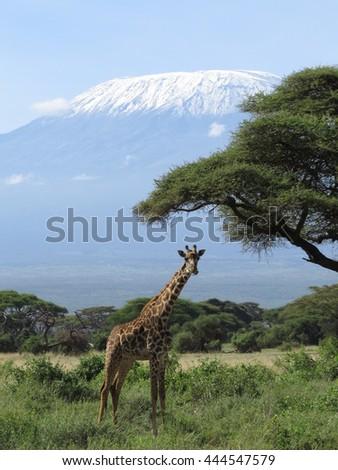 Giraffe in front of Mount Kilimanjaro  - stock photo