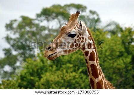 giraffe in its natural environment - stock photo