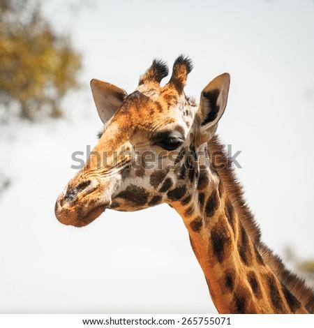 Giraffe in Kenya, Africa - stock photo