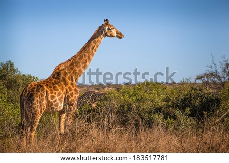 Giraffe in Kruger National Park, South Africa - stock photo