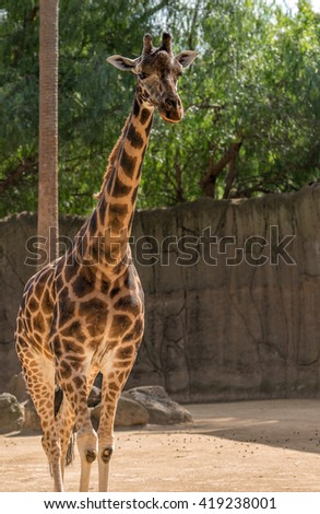Giraffe in Melbourne Zoo, Attraction in Melbourne, Victoria, Australia. The giraffe is an African even-toed ungulate mammal, the tallest living terrestrial animal and the largest ruminant.