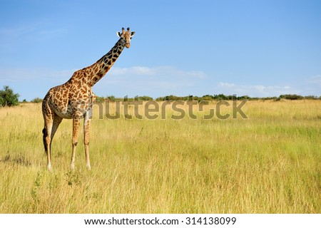 Giraffe in National park of Kenya, Africa