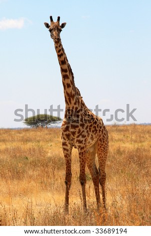 Giraffe in plain savanna - stock photo