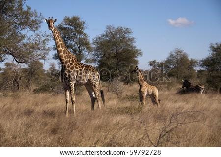 giraffe in sabi sands game reserve, south africa - stock photo