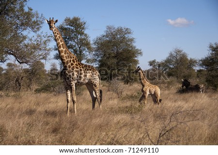 giraffe in sabi sands game reserve, south africa - stock photo