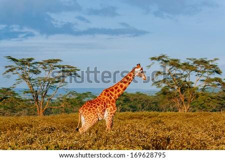 giraffe in savana - stock photo