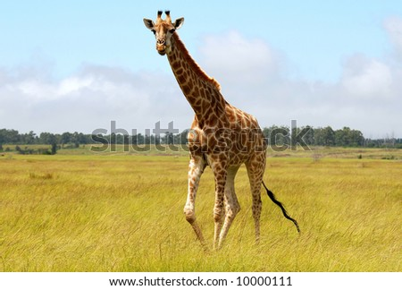 giraffe in savanna - stock photo