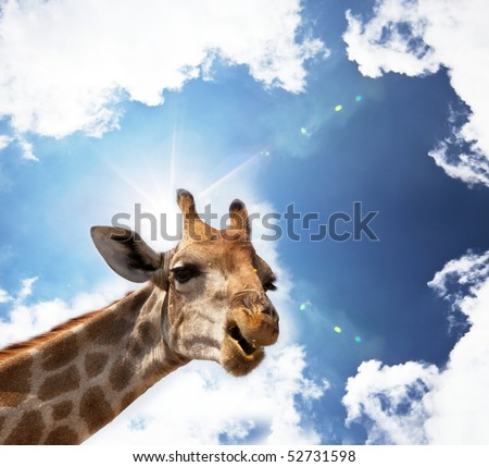 giraffe in savannah - stock photo