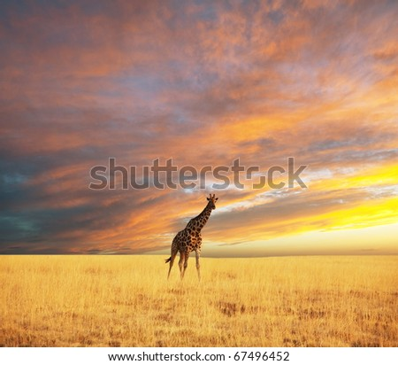 giraffe in savannah at dawn - stock photo