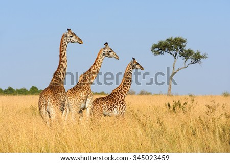 Giraffe in savannah, National park of Kenya, Africa