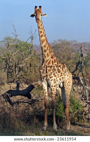 Giraffe in South Africa, wildlife - stock photo