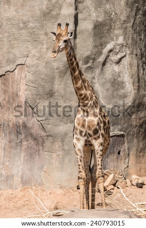 Giraffe in standing post - stock photo