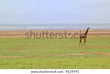 giraffe in tanzania serengeti - stock photo