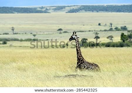 Giraffe in the African savannah Masai Mara - stock photo