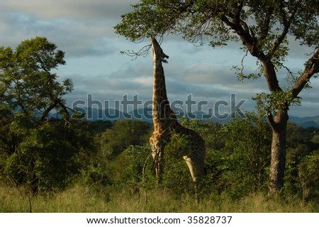 Giraffe in the bushveld of South Africa.