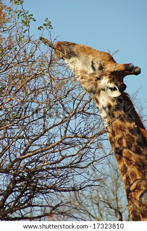 Giraffe in the bushveld of South Africa, using its ultra long tongue to reach for the highest green leaves. - stock photo