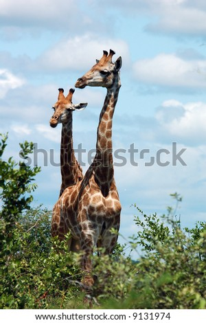Giraffe in the bushveld of the Kruger National Park, South Africa. - stock photo