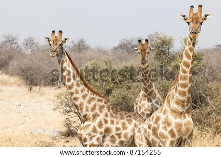 Giraffe in the Etosha National Park