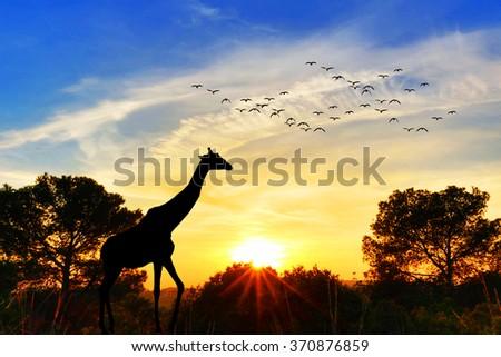 Giraffe in the field at sunset - stock photo