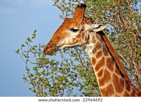Giraffe in the morning sun, South Africa, wildlife - stock photo