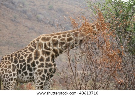 Giraffe in the reserve