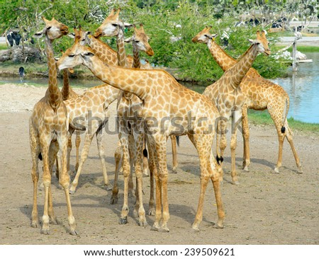 Giraffe in the wild  - stock photo