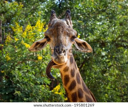 giraffe in the zoo. - stock photo