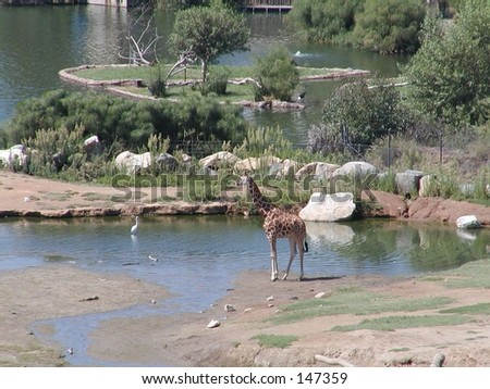 Giraffe in Wild Animal Park - stock photo