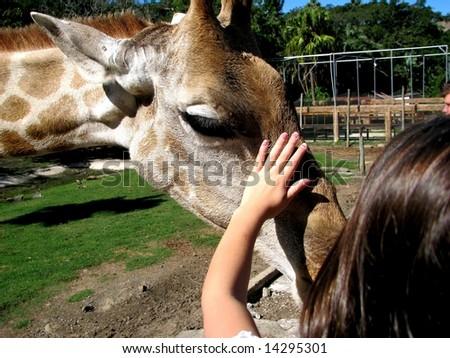 giraffe in zoo - stock photo