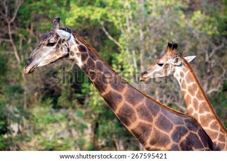 Giraffe in Zoo. - stock photo
