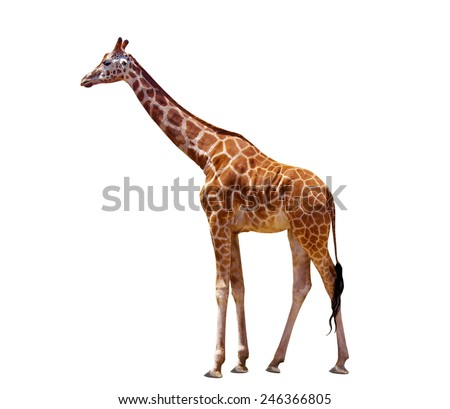 giraffe isolated on the white - stock photo