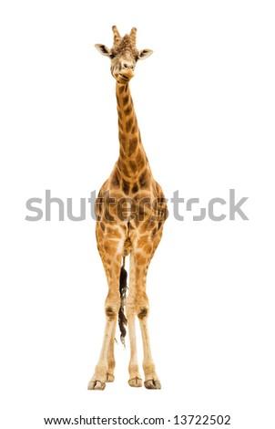 Giraffe isolated on white - stock photo