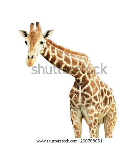 Giraffe. Isolated on white background - stock photo