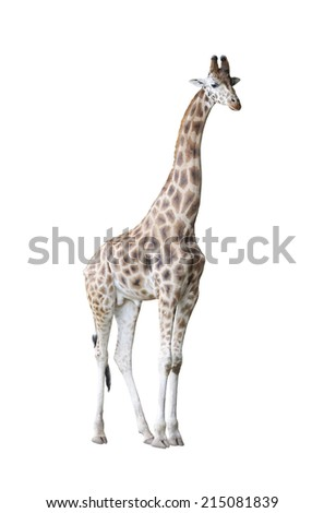 Giraffe isolated on white background with clipping path - stock photo