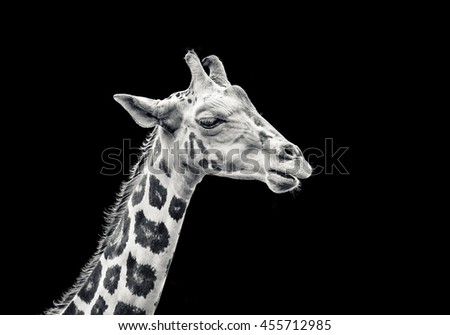 Giraffe isolated with black background