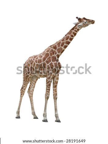 Giraffe kissing pose isolated on white background