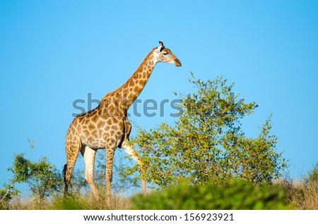 Giraffe. Kruger National Park, South Africa  - stock photo