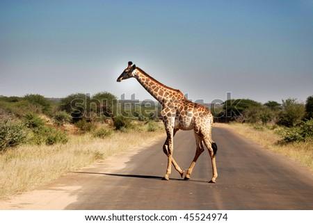 Giraffe Kruger park South Africa - stock photo