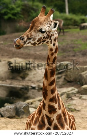 Giraffe licking its lips - stock photo
