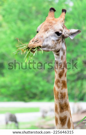 Giraffe long neck in funny action