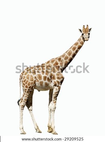 giraffe looking at camera with clipping path - stock photo