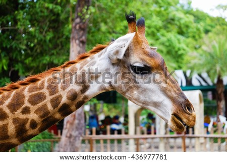 Giraffe looking for food in the zoo