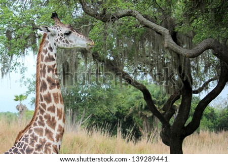 Giraffe looking for food in tree