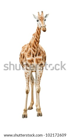 Giraffe looking front view isolated on white background - stock photo