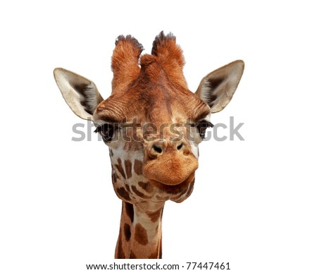 Giraffe looking into camera over white background - stock photo