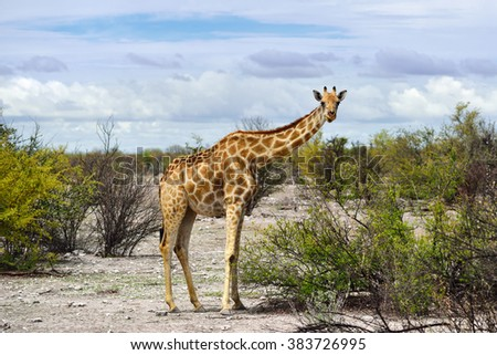 Giraffe looking out of the bushes in Etosha national reserve, Namibia. Morning light - stock photo