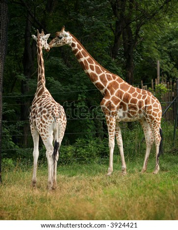 giraffe lovely couple